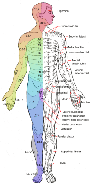 Cutaneous Nerve System and Scar Release